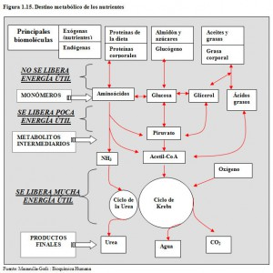 F.1.15. Destino metabólico nutrientes