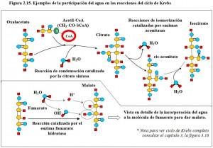 F.2.15. Agua ciclo de Krebs
