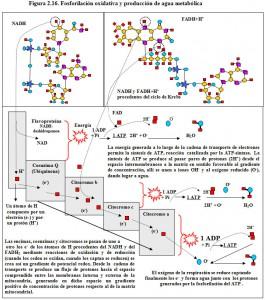 F.2.16. Fosforilación oxidativa agua metabólica