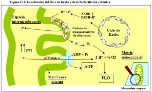 F.2.18. Localización ciclo de Krebs Fosforilación Oxidativa