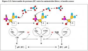 F.2.22. Intercambio protones aminoácidos agua