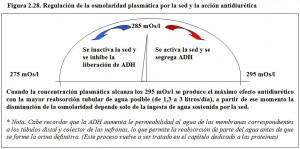 F.2.28. Regulación osmolaridad plasmática Sed ADH