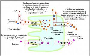 Figura 3.11.1. Aparato digestivo Enzimas hidrólisis hidratos de carbono glicémicos. Asimilación monosacáridos