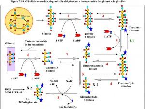 Figura 3.19. Glucolisis anaerobia, degradación piruvato, incorporación glicerol a glicolisis