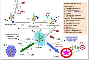 Figura 3.19.2. Glucolisis anaerobia, degradación piruvato, incorporación glicerol a glicolisis