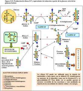 Figura 3.23. Ciclo pentosas fosfato