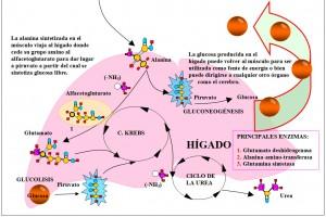 Figura 3.25.2.Ciclo glucosa-alanina