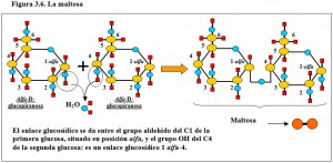 Figura 3.6. Maltosa