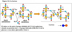 Figura 3.8. Lactosa