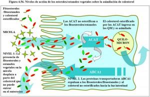 Figura 4.56. Acción de esteroles, estanoles en asimilación de coleserol