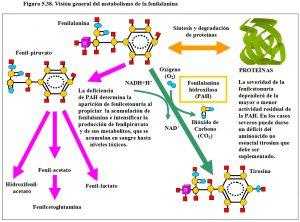 Figura 5.38. Metabolismo de la fenilalanina