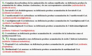 Figura 5.40. Degradación aminoácidos ramificados enzimas implicados (2)