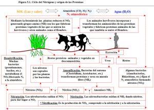 Figura 1. Ciclo nitrógeno origen proteínas