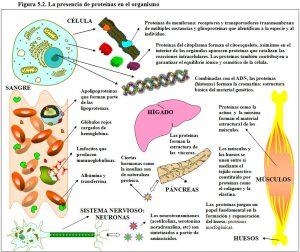 Figura 2. Presencia de proteínas en el organismo