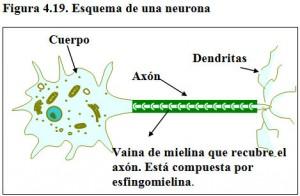 Figura 4.19. Esquema de una neurona