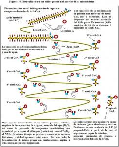 Figura 4.49. Betaoxidación ácidos grasos