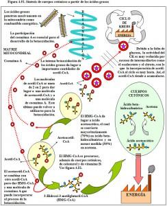 Figura 4.51. Síntesis de cuerpos cetónicos a partir de ácidos grasos