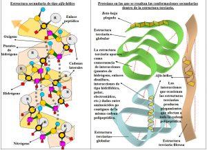 Figura 5.10. Estructuras secundarias y terciarias de la cadena polipeptídica (2)