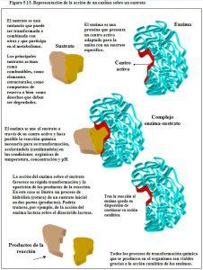 Figura 5.13. Anción enzima - sustrato