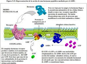 Figura 5.15. Acción hormonal AMPc