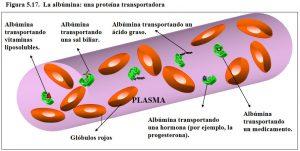 Figura 5.17. Albúmina proteína transportadora