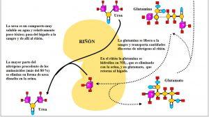 Figura 5.22. Catabolismo aminoácidos visión general. (2) jpg