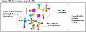Figura 5.28. Estructura de un nucleótido