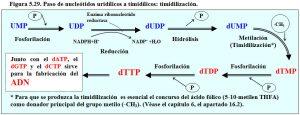 Figura 5.29. Paso de nucleóditos uridílicos a timidílicos, timidilzación
