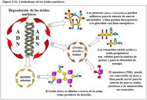 Figura 5.31. Catabolismo ácidos nucleicos