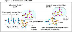 Figura 5.33. ATP y AMPc, estructuras