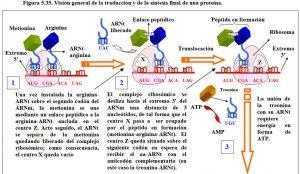 Figura 5.35. Traducción y síntesis de una proteína