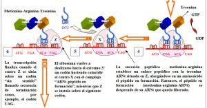 Figura 5.35. Traducción y síntesis de una proteína (2)