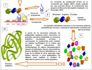 Figura 5.35. Traducción y síntesis de una proteína (3)
