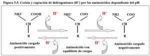 Figura 5.5. Aminoácidos cesión y captación de hidrogeniones