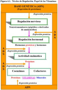 Figura 6.1. Niveles regulación papel vitaminas