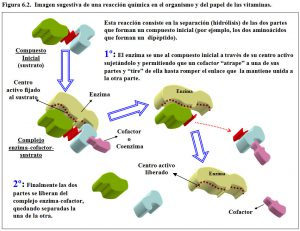 figura-6-2-reaccion-bioquimica-papel-vitaminas