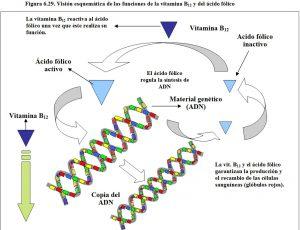 figura-6-29-vitmanina-b12-y-acido-folico-funciones-y-metablismo