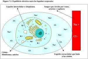 figura-7-1-equilibrio-electrico-liquidos-corporales