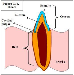 figura-7-16-diente