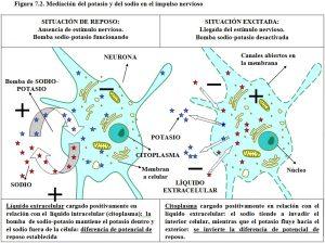 figura-7-2-impulso-nervioso-sodio-potasio