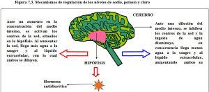 figura-7-3-regulacion-niveles-sodio-potasio-cloro