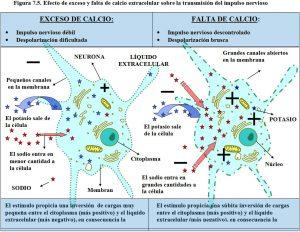 figura-7-5-exceso-y-falta-de-calcio-transmision-impulso-nervioso