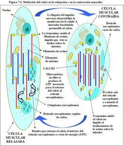 figura-7-6-relajacion-contraccion-muscular-calcio