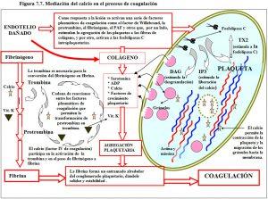 figura-7-7-coagulacion-sanguinea-calcio